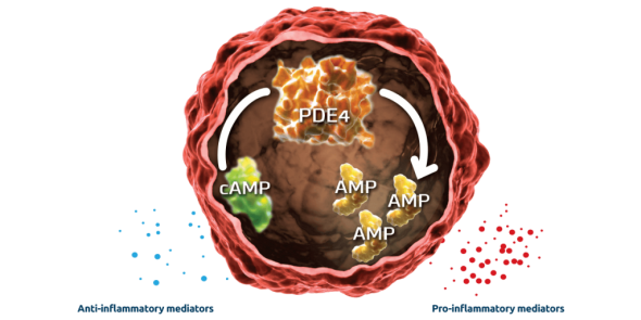 The interior of an inflammatory cell showing how phosphodiesterase 4 (PDE4) breaks down cyclic AMP into AMP
