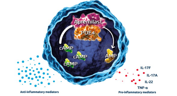 The interior of an inflammatory cell showing how apremilast binds to phosphodiesterase 4 (PDE4) to inhibit the hydrolyzation of cyclic AMP in to AMP